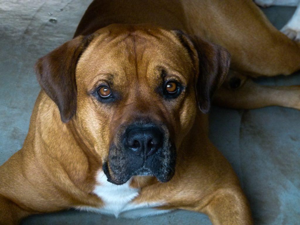 ボクサー犬の画像