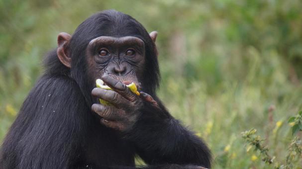 食事中のチンパンジー